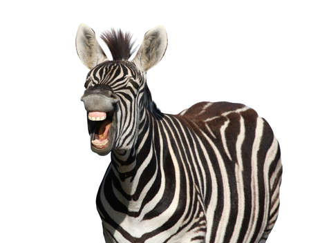 Zebra with a look of laughter isolated on white background