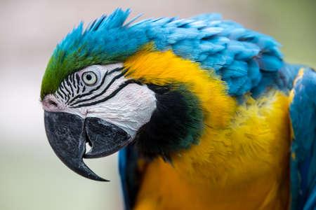 Photo pour Portrait of a beautiful Macaw parrot with gold and blue feather - image libre de droit