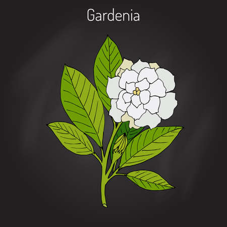 Gardenia jasminoides, gardenia, cape jasmine, cape jessamine, danh-danh, or jasmin in black background.