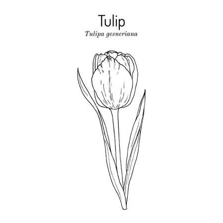 Illustration pour Garden tulip flower Tulipa gesneriana , ornamental plant - image libre de droit