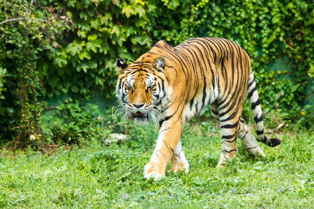 Tiger Trot