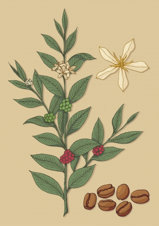 A branch of coffee tree with flower and beans on beige background.