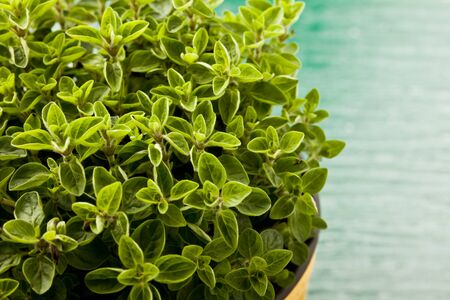 photo of fresh oregano plant on green glass table with yellow cloth