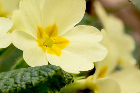 A primrose from the local park of river Molgora