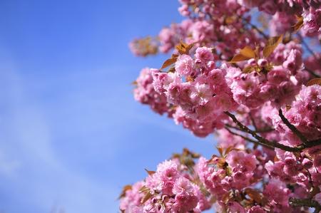 cerisier japonais en fleur Au Printemps