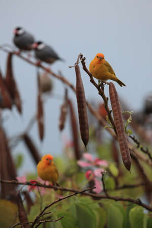 saffron finch (Sicalis flaveola)  Big Island Hawaii