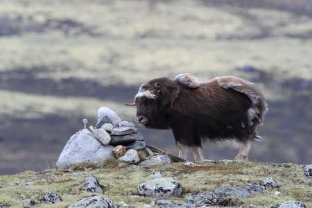 Muskox in Dovrefjell national park, Norway