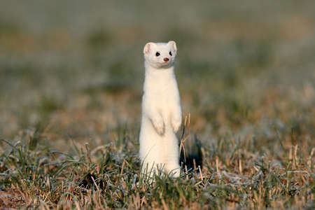 Photo pour stoat (Mustela erminea),short-tailed weasel Germany - image libre de droit