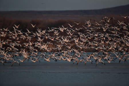 Foto de Snow geese Bosque del Apache, New Mexico USA - Imagen libre de derechos
