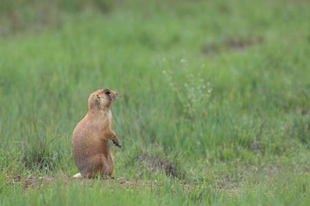 Utah Prairie Dog - Bryce Canyon National Park