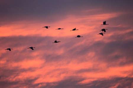 Photo pour Silhouettes of Cranes( Grus Grus) at Sunset Germany Baltic Sea - image libre de droit
