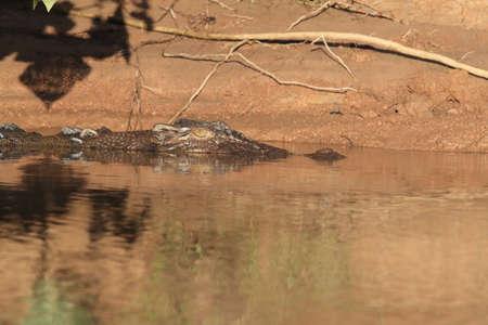 Photo pour Australian Saltwater Crocodile Daintree River Queensland, Australien - image libre de droit