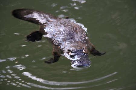 Foto de a platypus floating in  a creek on the Eungella National Park , Queensland, Australia - Imagen libre de derechos