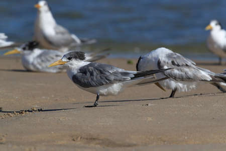 Photo pour greater crested tern (Thalasseus bergii velox, Sterna bergii) Noosa Heads, queensland, australia - image libre de droit