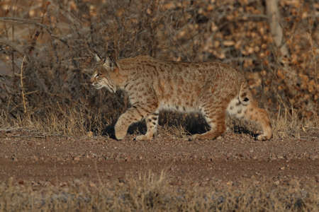 Photo for Bobcat (Lynx rufus) Bosque del Apache National Wildlife Refuge - Royalty Free Image