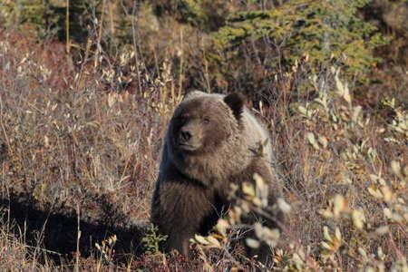 Photo pour Grizzly Bear  Denali National Park Alaska - image libre de droit