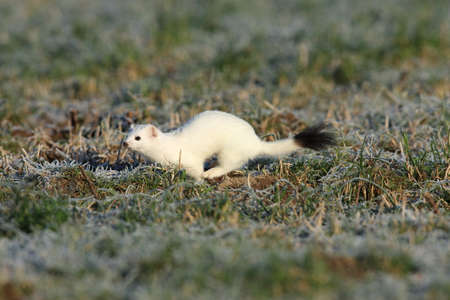 Photo pour stoat (Mustela erminea), short-tailed weasel in the winter - image libre de droit