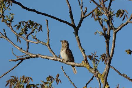 Photo pour Eurasian wryneck or northern wryneck (Jynx torquilla) - image libre de droit