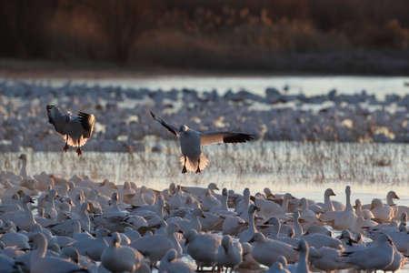Photo pour Snow geese Bosque del Apache, New Mexico - image libre de droit