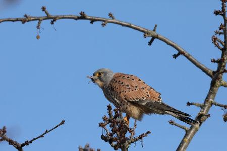 Photo pour common kestrel (Falco tinnunculus) - image libre de droit