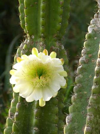 Kaktusbluete am grÃŒnen Kaktus vor blauen Himmel