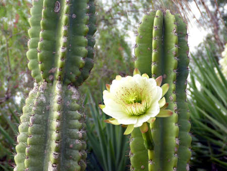 Kaktusbluete am grÃŒnen Kaktus