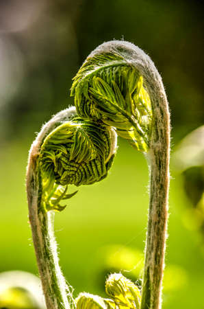 Two young fern leaves in springtime, seemingly showing affection for and caressing each other
