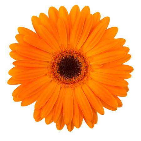 Orange daisy flower isolated on white background