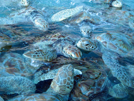 Some marine turtles at Isla Mujeres in Mexico