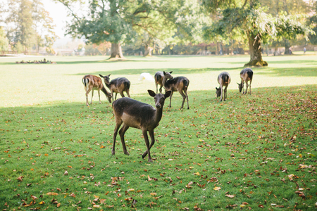 Animals are looking for food. A group of young deer walks through a warm green sunny meadow next to the trees