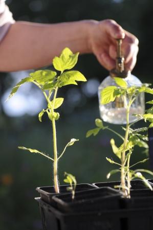 Arrosage semi tomate dans leur pot avec un pulvérisateur