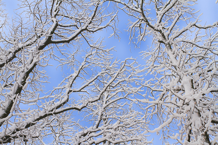 Photo for Winter background of snowy tree branches against blue sky. Trees covered with snow - Royalty Free Image