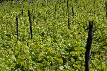 Raws of grape vines at viney