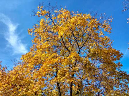 Photo pour Autumn yellow tree on a blue sky background - image libre de droit