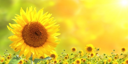 Foto de Bright yellow sunflowers and sun - Imagen libre de derechos