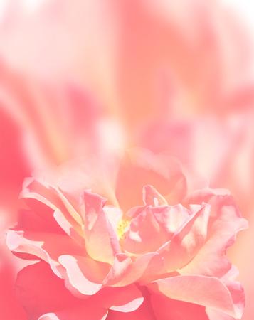 Softness rose on pink background