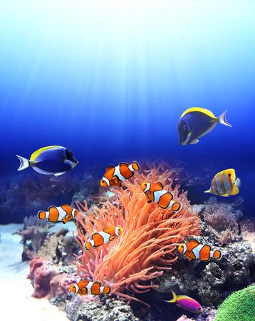 Photo pour Underwater scene with anemone and tropical fish - blue tang, clown fish, paracanthurus - image libre de droit