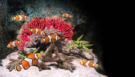 Photo pour Sea corals and clown fish in marine aquarium. On black background - image libre de droit