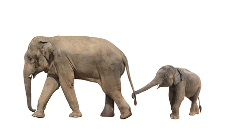 Foto de Walking family of elephant - mom and baby (Elephas maximus). Small elephant is held by the trunk by the tail of his mother. Isolated on white background - Imagen libre de derechos