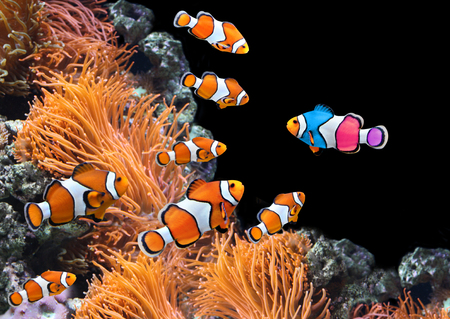 Foto de Concept - to be yourself, to be unique. A flock of standard clownfish and one colorful fish. On black background - Imagen libre de derechos