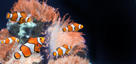 Photo pour Sea anemone and clown fish in marine aquarium on black background. Mock up template. Copy space for text - image libre de droit