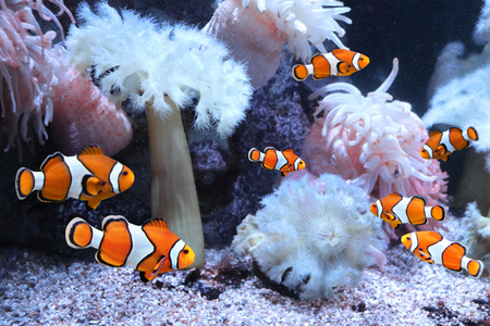 Photo for Tropical sea anemone and clown fish (Amphiprion percula) in marine aquarium - Royalty Free Image