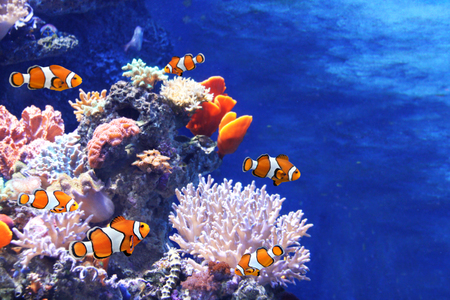 Photo pour Tropical sea corals and clown fish (Amphiprion percula) in marine aquarium. Copy space for text - image libre de droit
