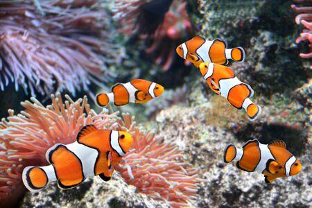 Photo pour Tropical sea anemone and clown fish (Amphiprion percula) in marine aquarium - image libre de droit