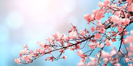 Photo pour Magical scene with sakura flowers of pink color. Beautiful nature background. Horizontal spring banner with blooming sakura. Copy space for text - image libre de droit
