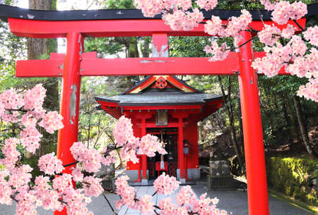 Cherry blossoming season in Japan. Blooming sakura tree, Torii gate and pavilion in Hakone Shrine, Hakone city, Kanagawa prefecture, Japanの素材 [FY310157883797]
