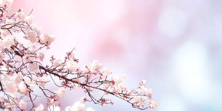 Photo pour Horizontal banner with sakura flowers of white color on sunny backdrop. Beautiful nature spring background with a branch of blooming sakura. Copy space for text - image libre de droit