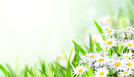 Photo pour Horizontal banner with blooming chamomile flowers. Sunny summer background with camomile flower. Copy space for text - image libre de droit
