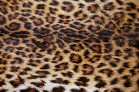 Full screen high resolution shot of a skin of the leopard. Good for a texture or a background