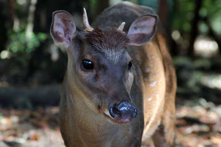 Portrait of a young deer.  Barbados. Wildlife Reserve